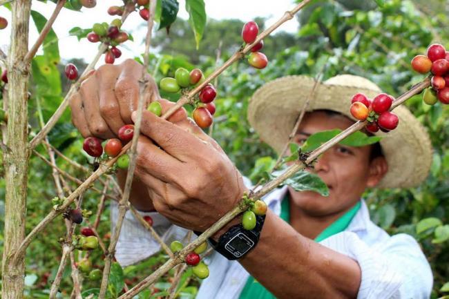 Cafetaleros piden rescate del sector a AMLO y Cuitláhuac