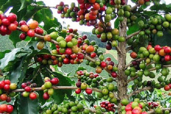 Pérdidas por ingreso de Nestlé a Veracruz serán de 7 mil 500 mdp: cafeticultores