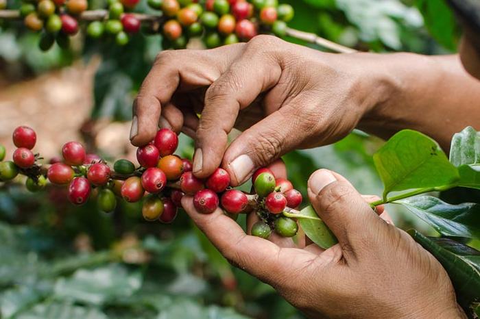 Consejo Regional del Café se pronuncia contra planta de Nestlé en Veracruz