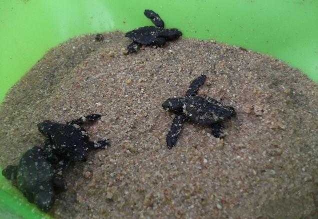 Familia retiene cientos de crías de tortuga lora ilegalmente