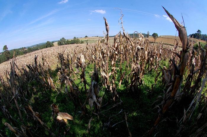 Sagarpa ahorca a productores de maíz en Veracruz, señalan