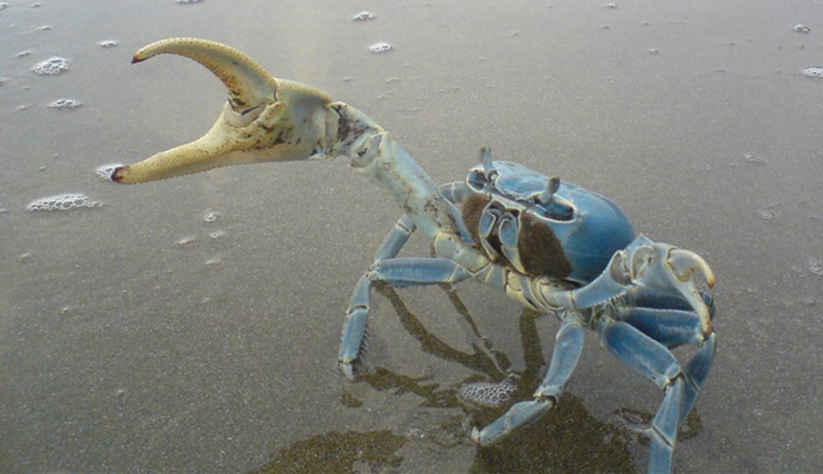 Cangrejo Azul en riesgo de desaparecer
