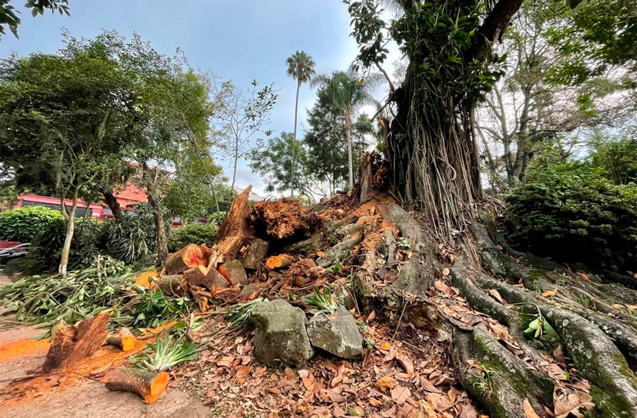 """Cayó """"árbol de las raíces"""" en Xalapa, escenario ideal para fotografías"""