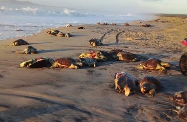 Cazan 300 tortugas en peligro de extinción en Oaxaca