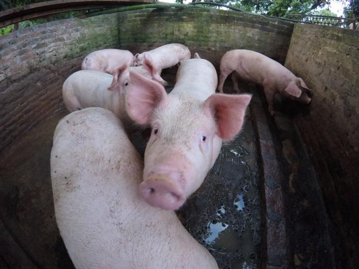 Porcicultores piden igualar circunstancias de comercio en negociación del TLCAN