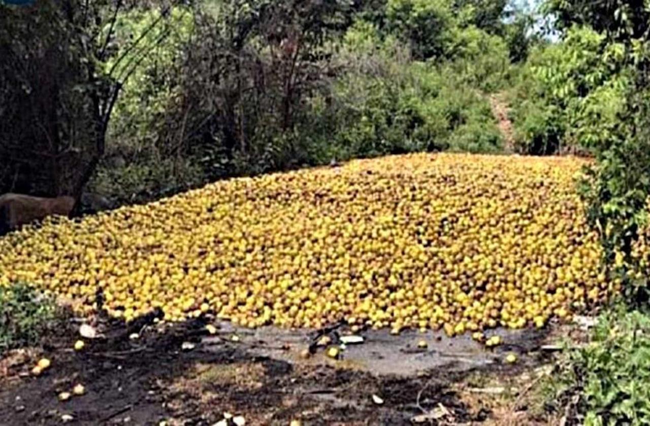 Citricultores desechan cultivos de limón por plagas