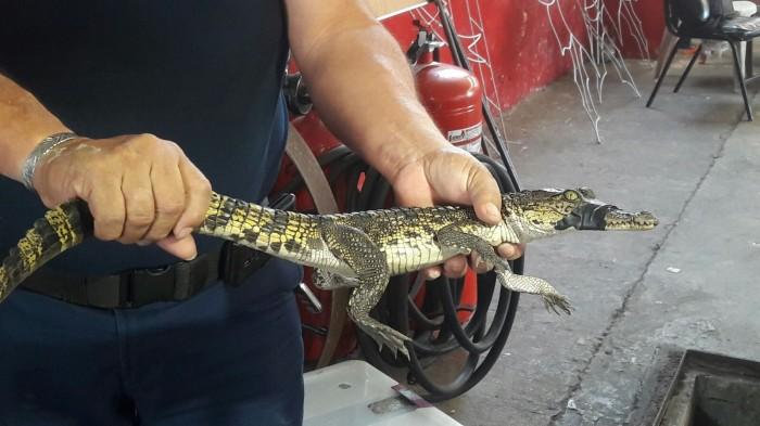 Rescatan a cocodrilo y mapache en Veracruz puerto