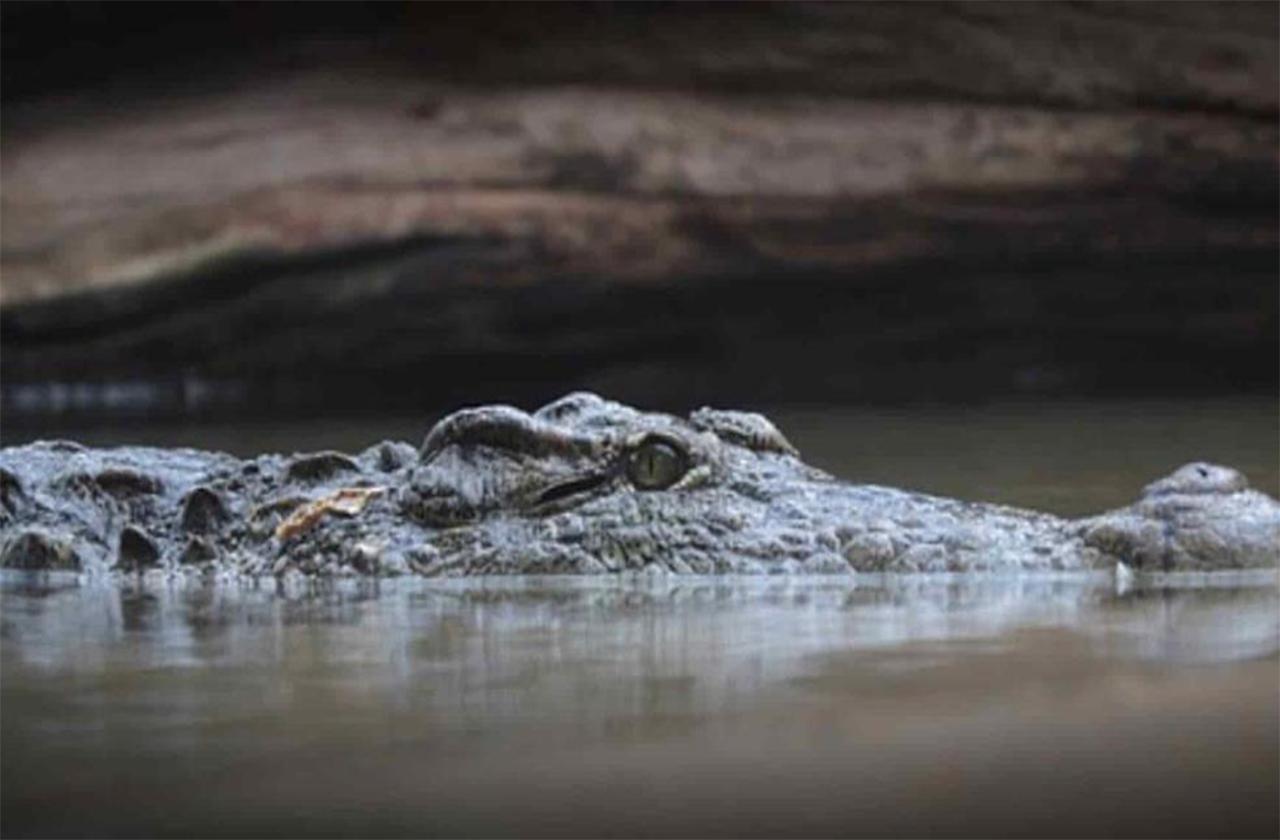 Cocodrilo se quedará a vivir en laguna de Veracruz