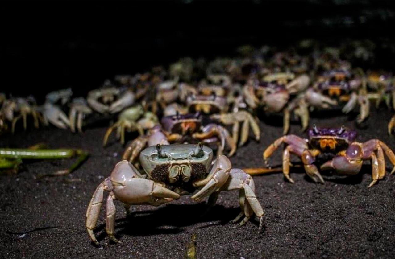 Crecimiento urbano en Veracruz amenaza población de cangrejo azul