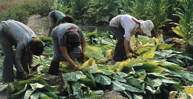 Productores de tabaco de Los Tuxtla afectados por las regulaciones federales