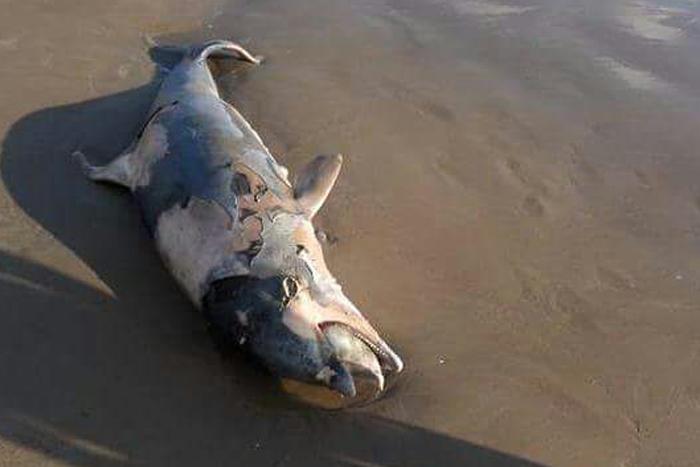 Localizan delfín nariz de botella muerto en playas de Tuxpan