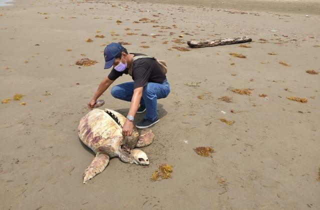 Hallan cadáver de tortuga en playa de Coatzacoalcos