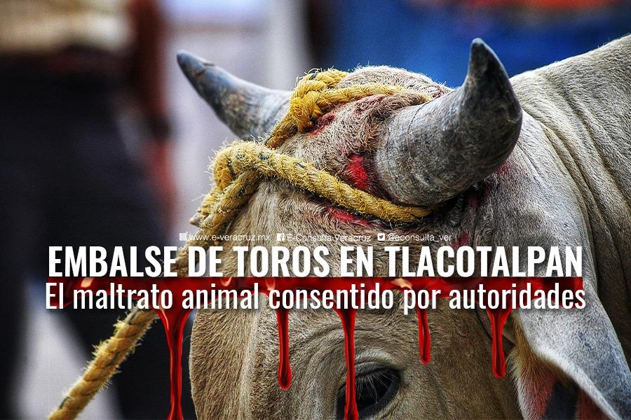 Embalse de toros, maltrato animal consentido en Tlacotalpan