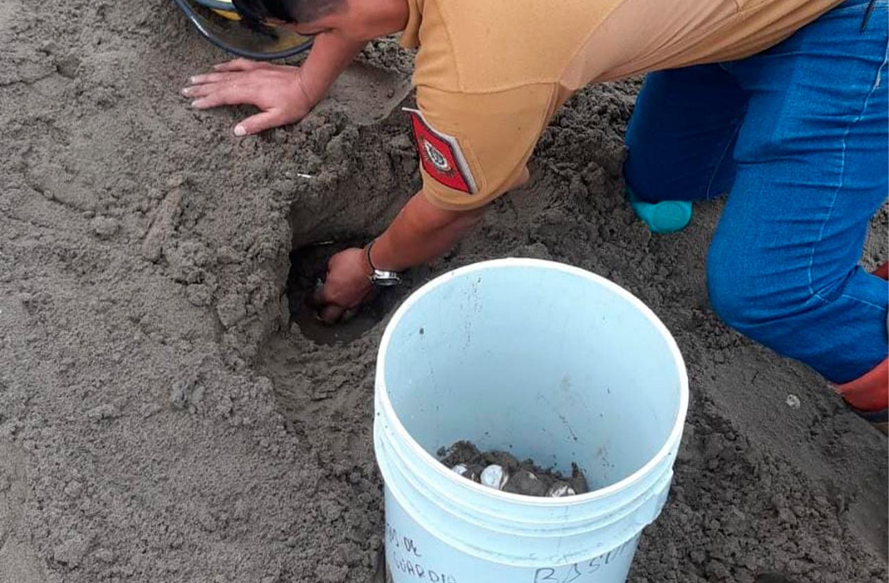 En medio de la lluvia tortuga desova en playa de Coatza
