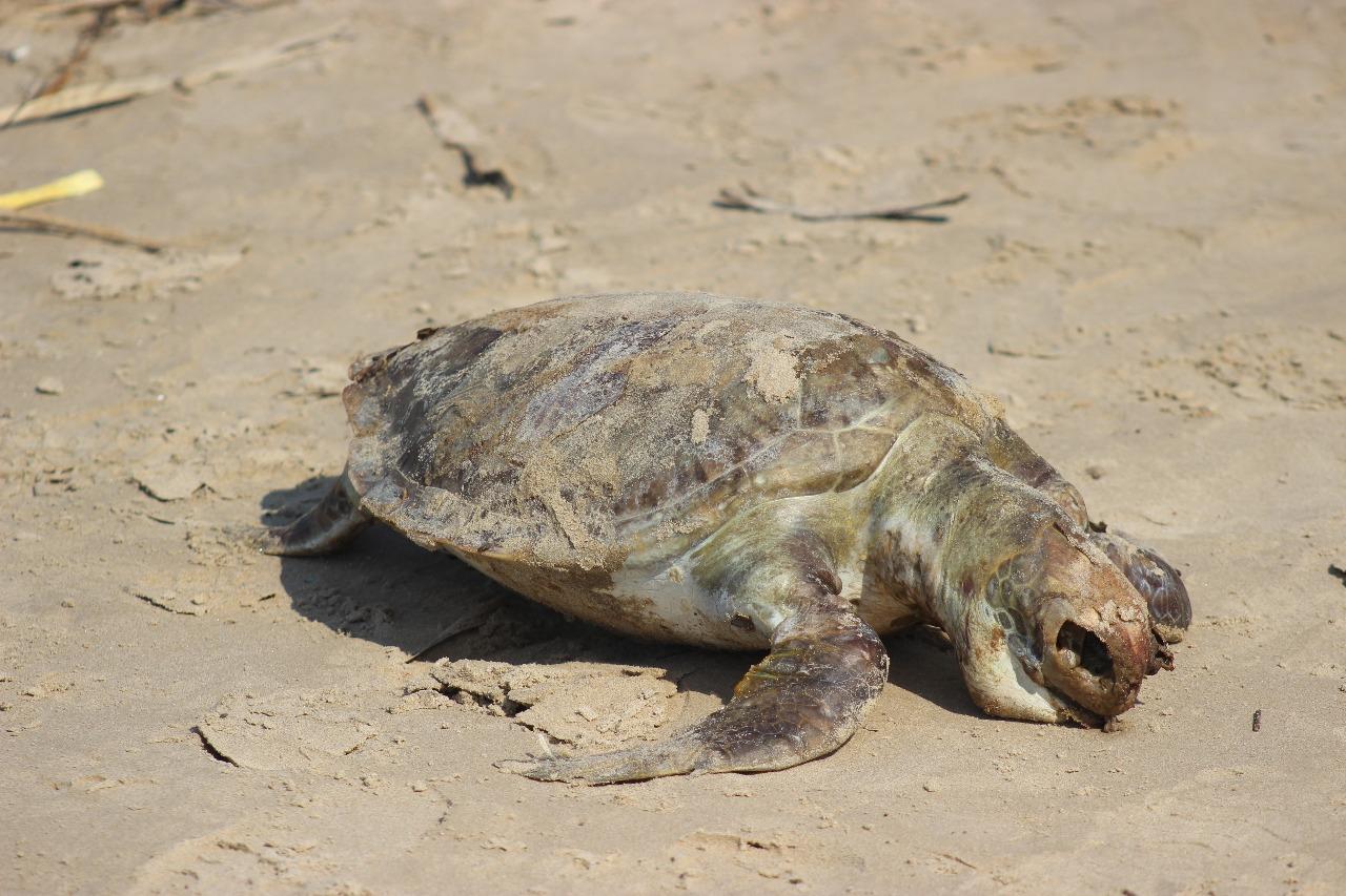 Costas veracruzanas registran más de 80 tortugas muertas en los últimos cinco meses