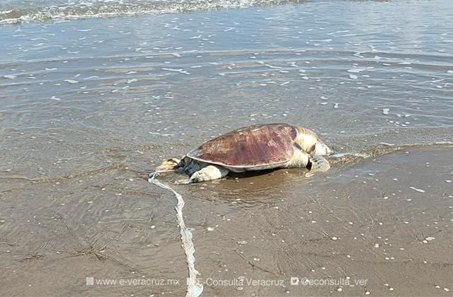Encuentran tortuga muerta en playa de Coatza