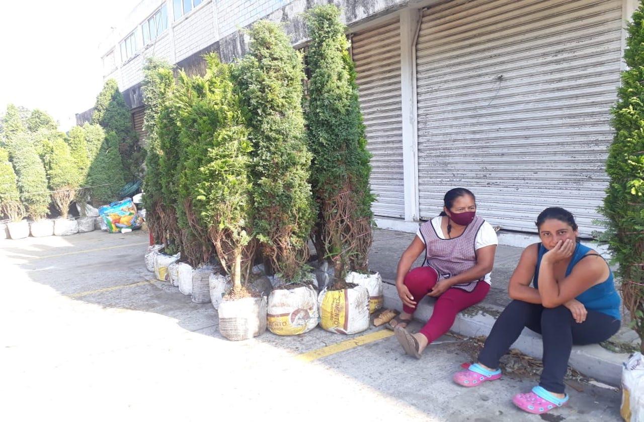 Entre pobreza y covid, buscan vender pinos de La Perla