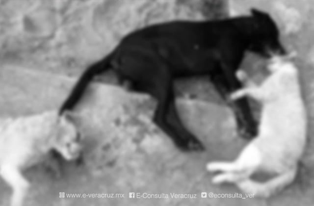 Envenenan a 5 perros y 1 gato en Coatza; 3 de ellos murieron