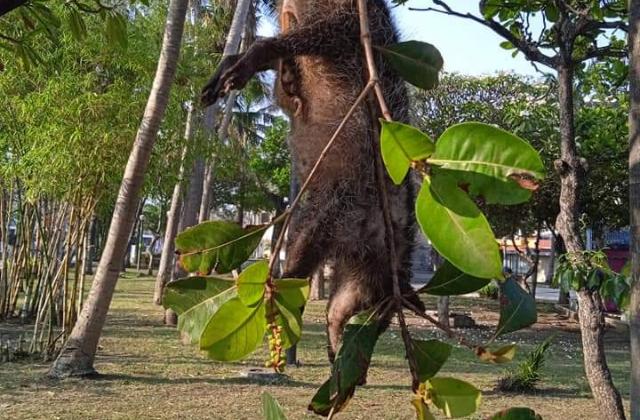 Tlacuache fue hallado sin vida; estaba colgado en parque de Veracruz