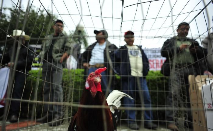 Empresarios de peleas de gallos se manifiestan en el Congreso