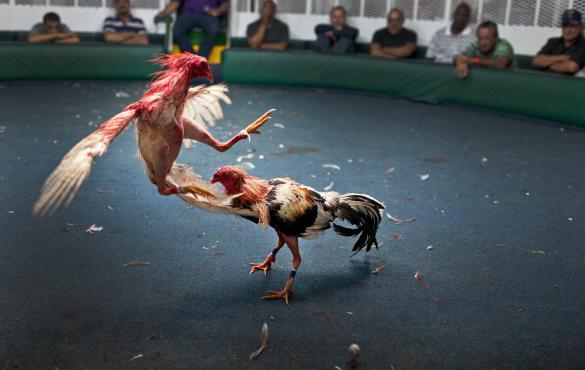 Diputado: peleas de gallos incentivan la violencia y las apuestas