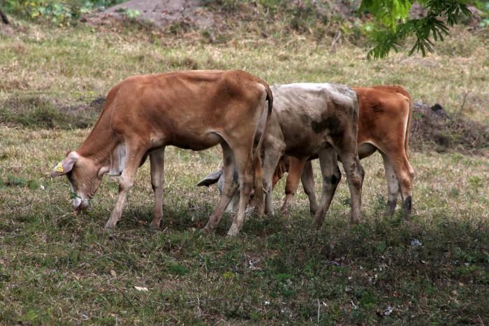 En riesgo 10 mil cabezas de ganado por altas temperaturas y falta de lluvia