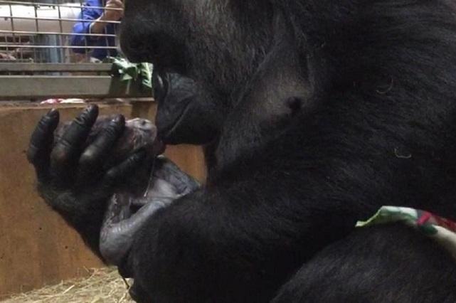 VIDEO: Así es el parto de una gorila