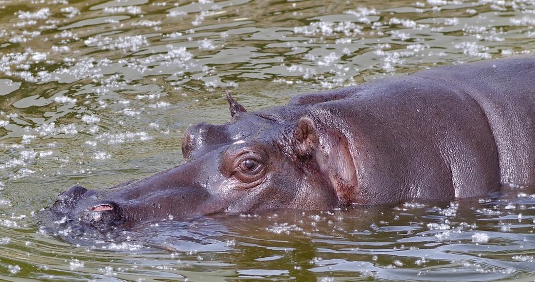 La odisea de Tyson, el hipopótamo jarocho