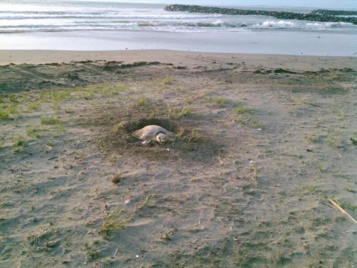Semarnat vigilará que no haya robo de huevos de tortuga