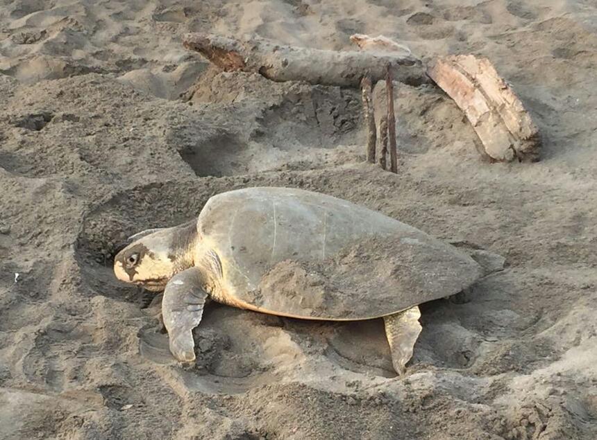 Arriba tortuga lora a desovar en plena zona urbana