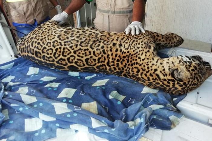 Localizan cuerpo de jaguar en la zona sur de Veracruz