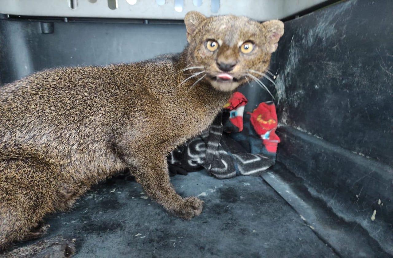 Jaguarundi rescatada en Alvarado permanece en recuperación