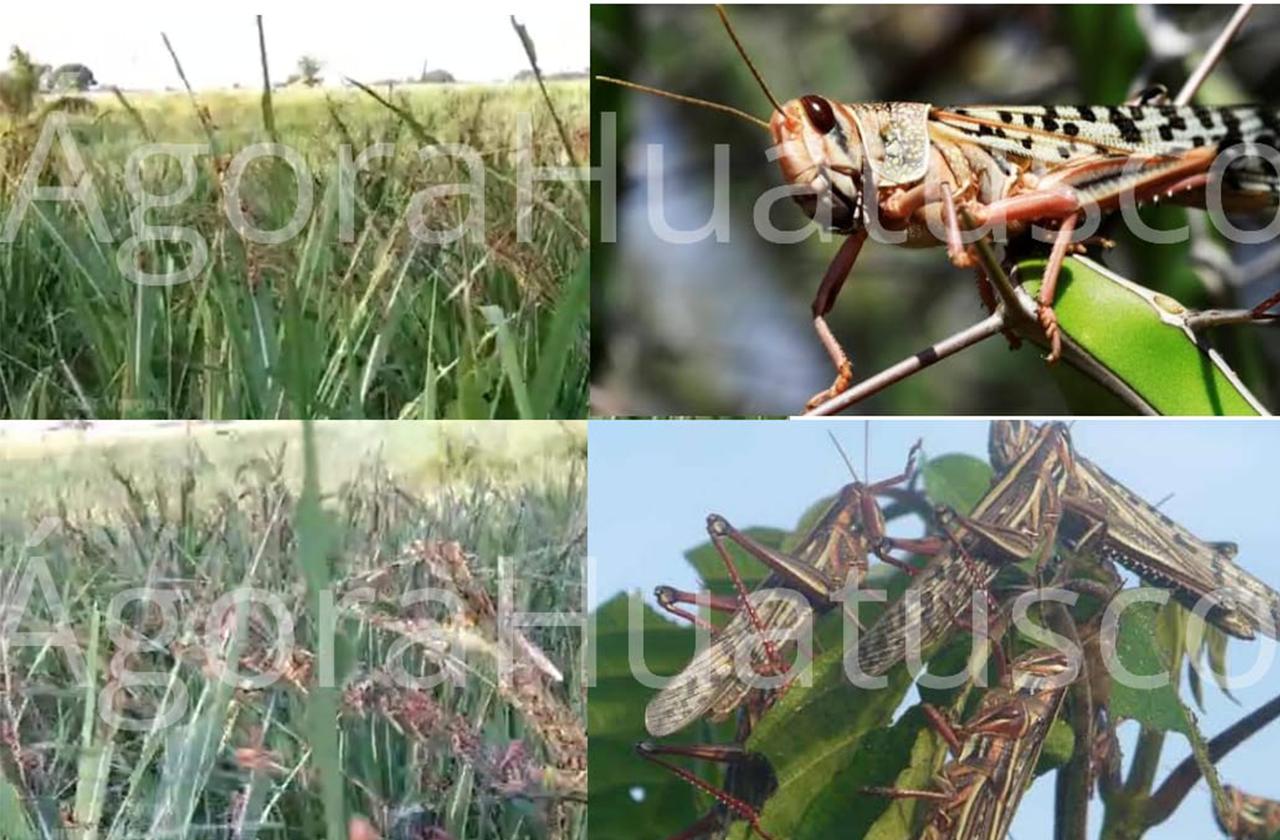 VIDEO | Plaga de langosta azota cultivos de Zentla