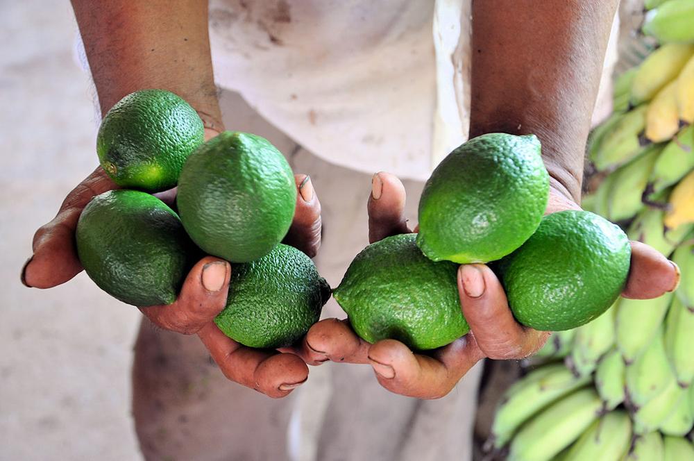 Productores veracruzanos de limón en alerta por plagas