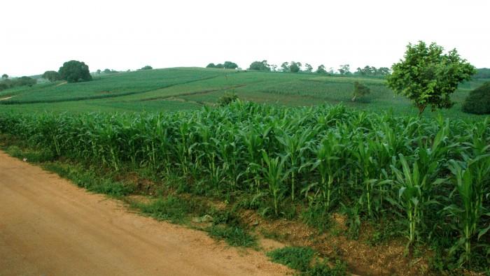 Desvío de recursos y plagas disminuyen producción de maíz
