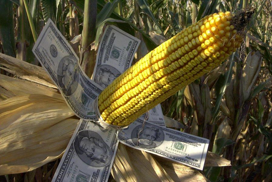 Magistrado confirma suspensión de sembrar maíz transgénico