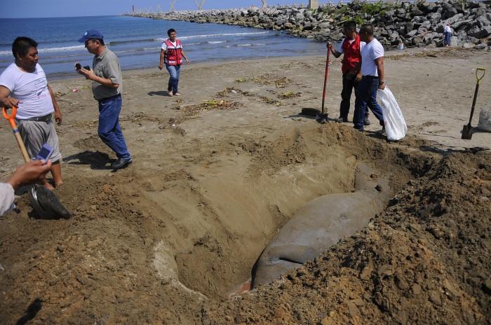 Hallan manatí muerto en playas de Coatzacoalcos