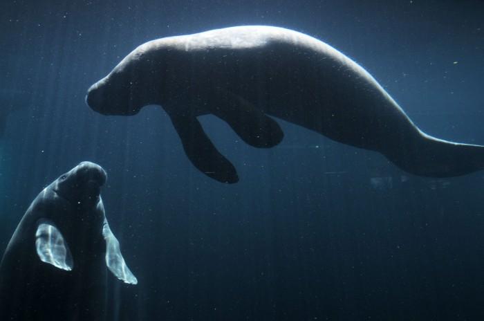 Buscan a manatíes en las costas del puerto de Veracruz