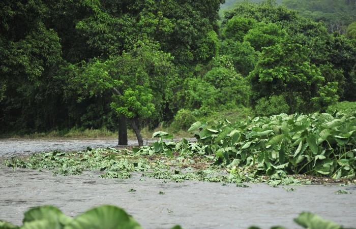 Derriban mil hectáreas de mango en Actopan