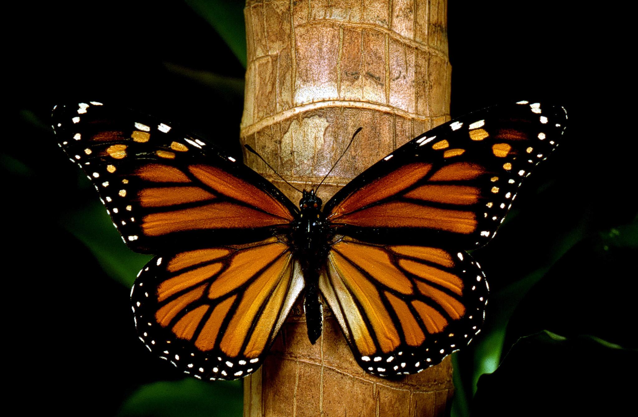 Peligra la mariposa monarca por cultivos transgénicos en EU