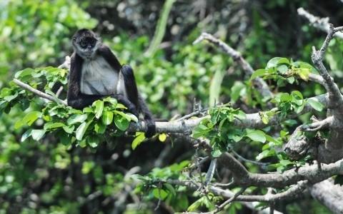 Trasladan a seis monos araña a rehabilitarse a Los Tuxtlas