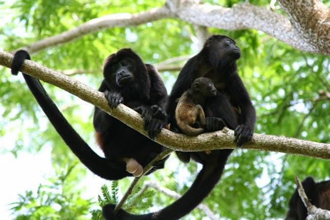 Mueren monos aulladores, los podrían haber envenenado