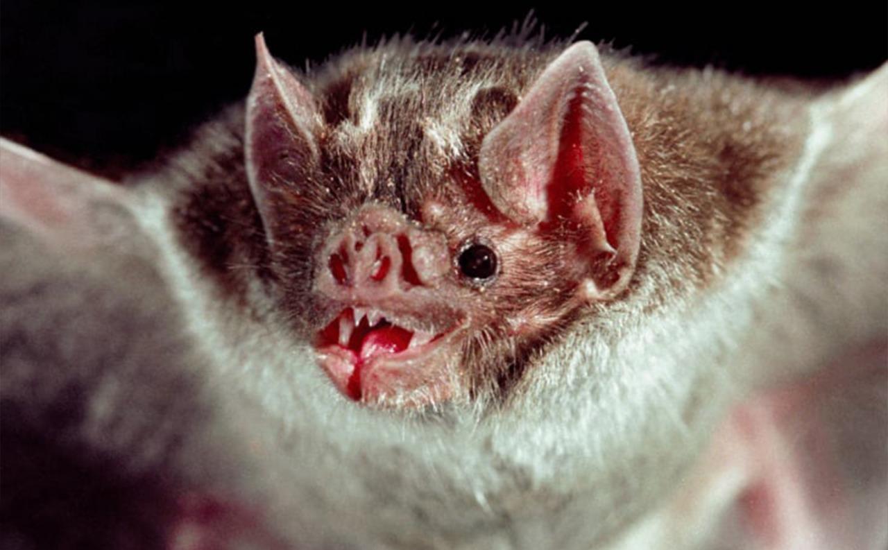 Ganaderos advierten sobre rabia en bovinos, producida por murciélagos