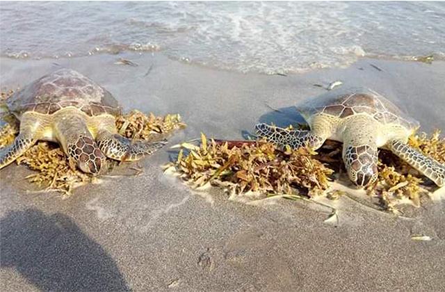 Exploraciones en costas de Veracruz aumenta muertes de tortugas