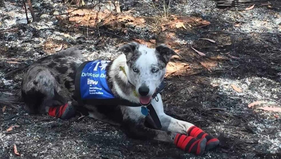 Conoce a Oso, el héroe que rescata koalas de incendios en Australia