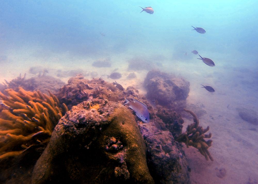 Daños en el 40% de la cresta arrecifal por palizada en el Jamapa