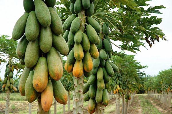 Frente Frío provocó la pérdida de producción de papaya