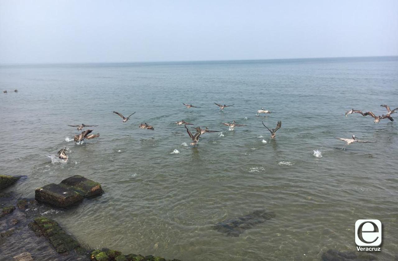 VIDEO | Así nadan pelícanos en costa de Coatza ante ausencia de bañistas