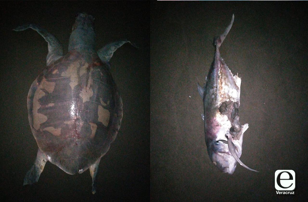 Aparecen muertas tortugas y peces en playas de Coatzacoalcos
