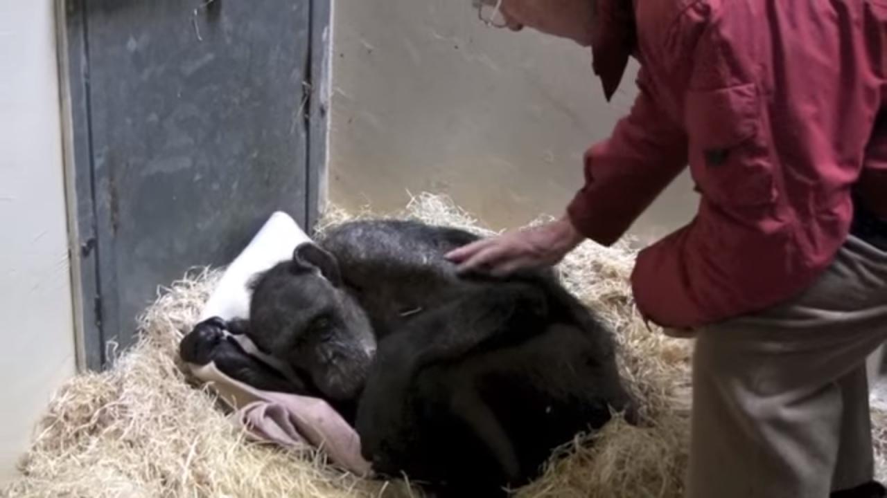 Chimpancé moribundo de 59 años reconoce a su cuidador